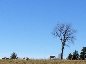 cows in vermont