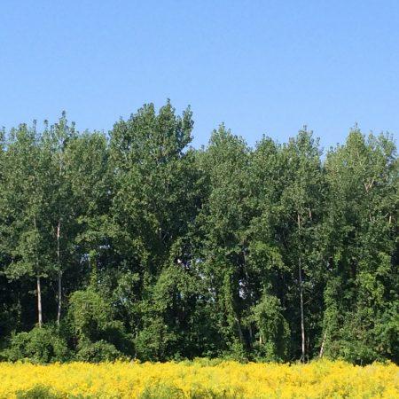 Intervale Burlington Trees